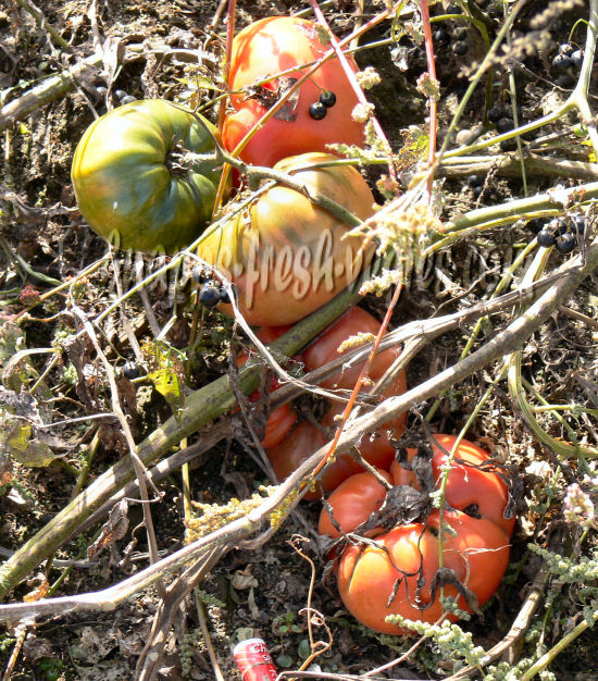 pleteallotment moreover Passionfruit Fungal Spots likewise African Queen besides Japanese Beetle Protection For Your Trees And Shrubs together with Corporate Gifting Seeds Tree Aloe Aloe Barberae Indigenous South African Succulent Tree Aloe. on growing tomatoes