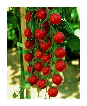 sweet million cherry tomato seeds knapp 39 s fresh vegies. Black Bedroom Furniture Sets. Home Design Ideas